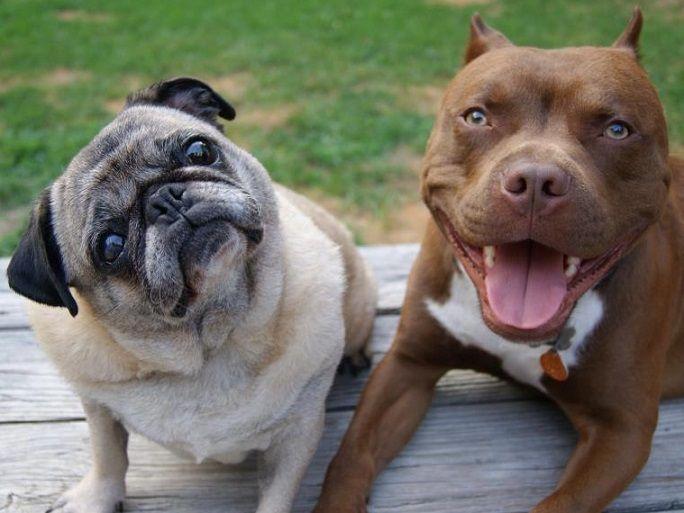 What Two Dogs Make A English Bulldog
