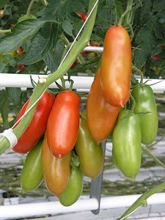Silvery Fir tree tomatoes originated from Russia
