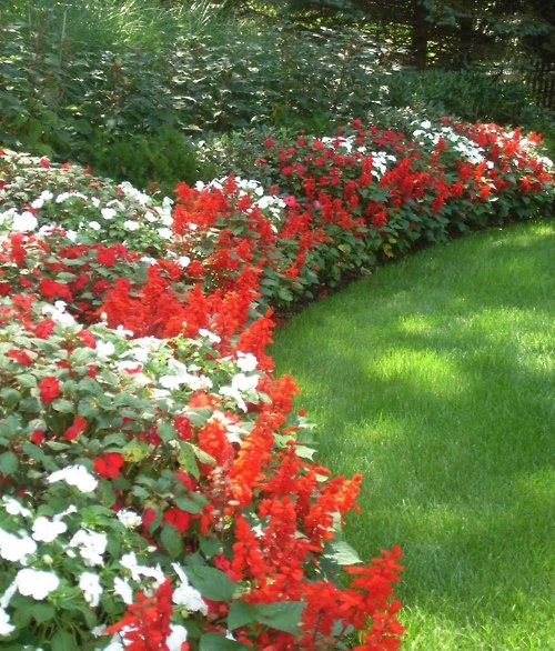 beautiful annual border - red and white impatiens and red salvia