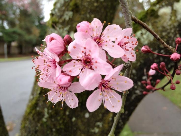 Cherry blossoms in Tualatin, Oregon