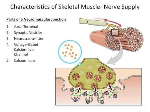 (4) Muscular System- The Neuromuscular Junction - YouTube