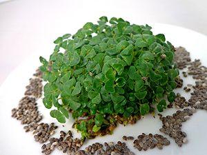 Anwendung von Chia Samen Sprossen