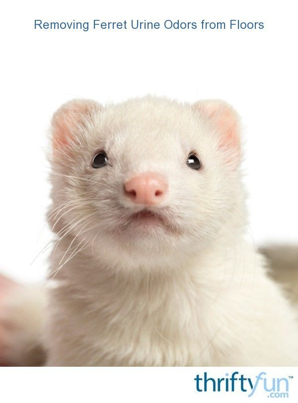 Removing Ferret Urine Odors From Floors Ferret Urine Odor Pet