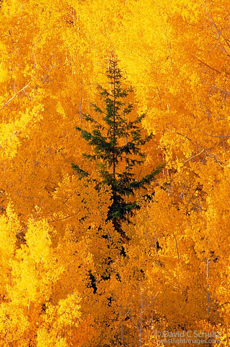 One single pine tree stands out among all the aspen trees in the fall. ~ Dixie National Forest, Utah
