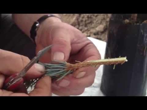 Mavi Ladin (Picea Pungens) Aşısı Nasıl Yapılır ? - YouTube