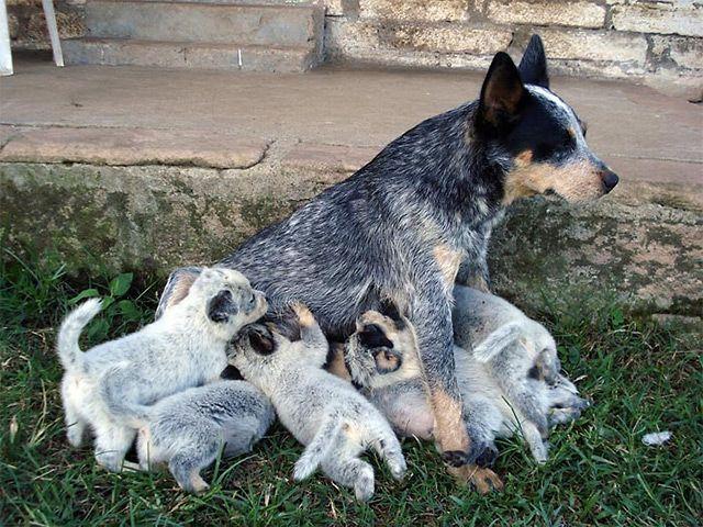 Pastor Australiano Stumpy Tail. Todo lo que necesites saber sobre esta raza. Fotos y Video. http://www.planetacan.com/razas-de-perros/1501/pastor-australiano-stumpy-tail
