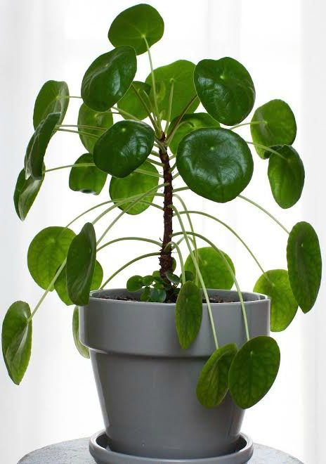 How to care for pilea peperomioides chinese money plant for Plante pilea