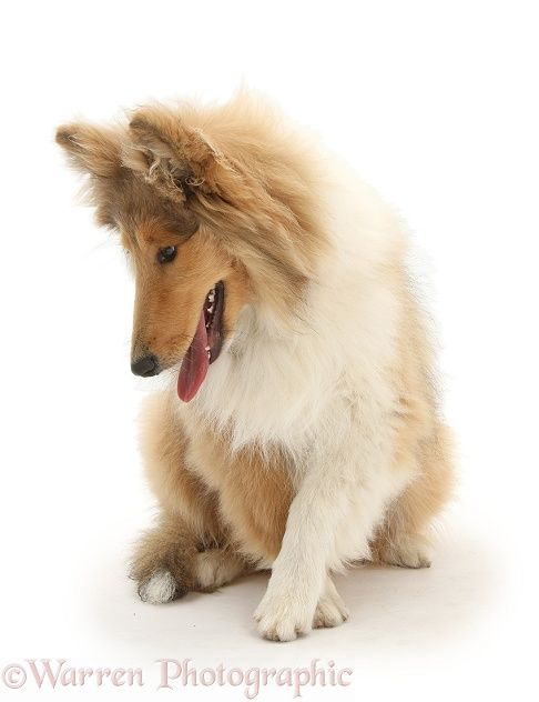 Rough Collie photo | Dog: Rough Collie photo - WP34624 Puppy Dog #Puppies #Dogs