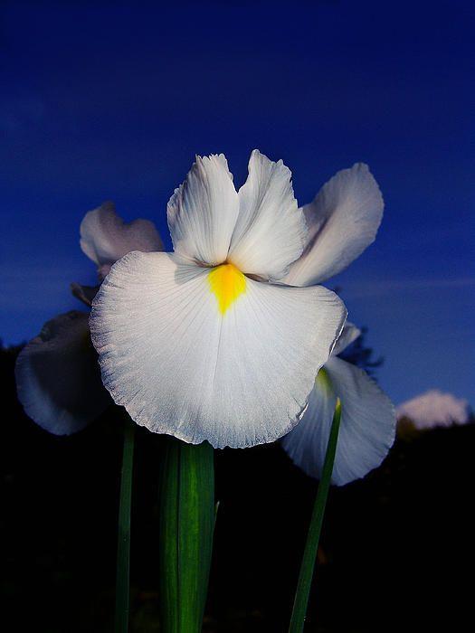 White Iris - My Digital Photos
