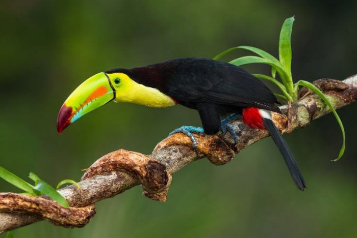 17 Animals That Start With K Names Pictures Keel Billed Toucan Toco Toucan Animals