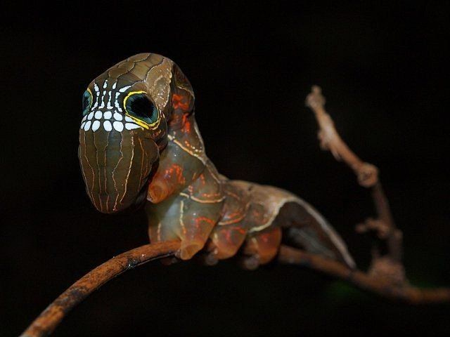 Phyllodes imperialis: the moth that uses a terrifying mask to defend from predators (2/3)