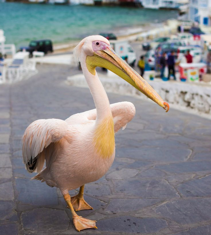 #MyconianTip Have you met Petros? You will see the famous pelican wandering in the streets of Chora...Dont miss an oportunity to take a photo with him :D