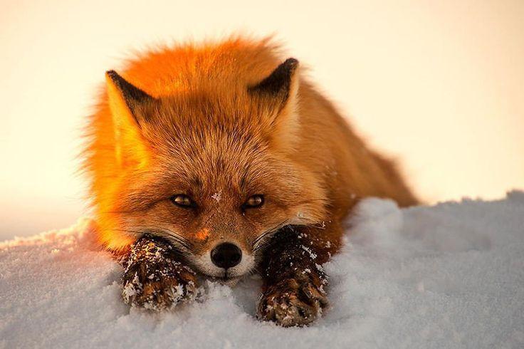 25 photographies dans l'intimité du renard au coeur du cercle arctique