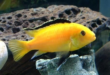 "Electric Yellow Lab 1.5""-2"" 