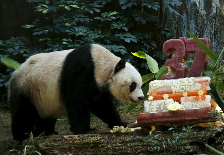 #Panda gigante Jia Jia ao lado de um bolo de aniversário, no Hong Kong Ocean Park, na #China. O #animal, que completa 37 anos, é o mais velho de sua espécie vivendo em cativeiro. Foto Bobby Yip/Reuters.
