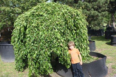 Hängender Maulbeerbaum 'Pendula': hängender Wuchs, essbare Früchte - in voller Pracht