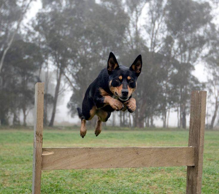 How S My Form Look Australian Kelpie Australian Sheep Dogs