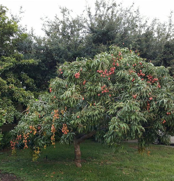 Little Lychee tree