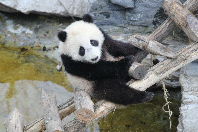 Tian Bao, le bébé panda géant de Pairi Daiza, fête son premier anniversaire