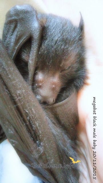 megabat black male baby flying fox fruit bat 20/11/2015 - Bats_Rule!