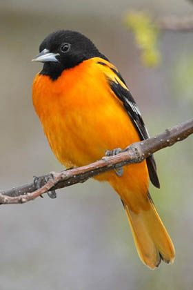 Beautiful Oriole, Maryland state bird and mascot for Baltimore's baseball team.