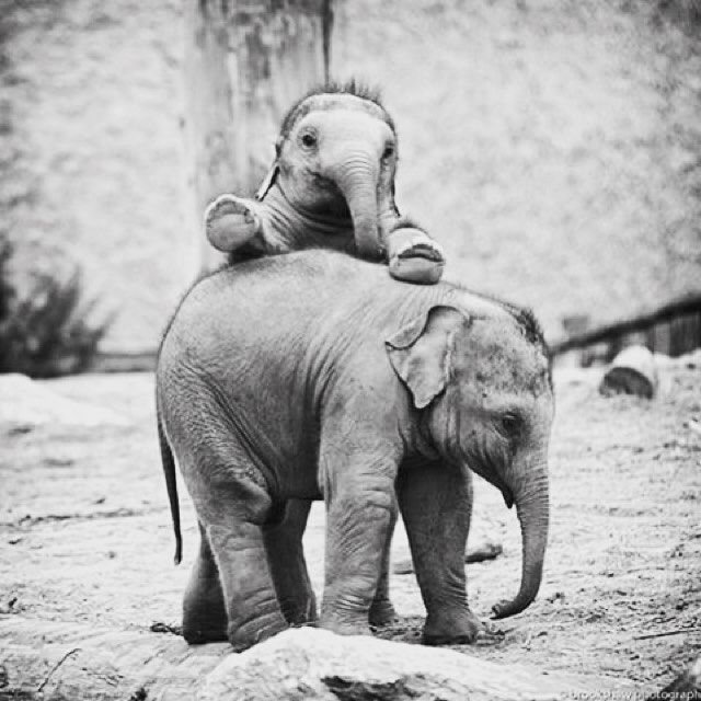 An Elly that plays together stays together!  . Follow @eightyelephants for your daily dose of elephant love! Want to help save them? Buy our products in our profile link & we donate a portion of YOUR sale! ✊