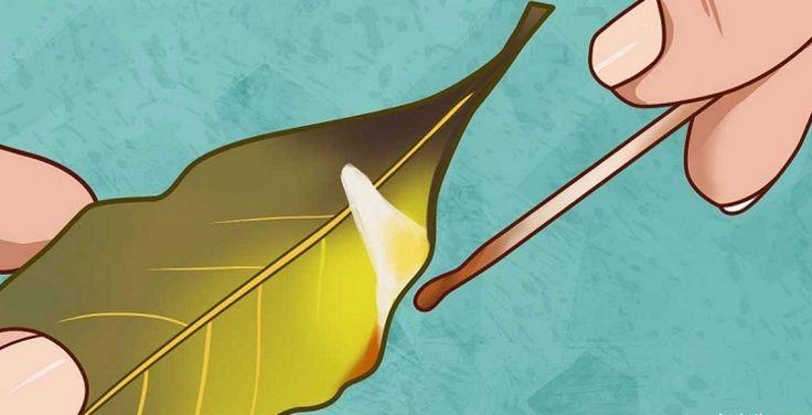 Лавровый лист - не только вкусная приправа. Это растение также помогает при многих заболеваниях.Хороший повар знает секретный ингредиент вкусного супа или жаркого: лавровый лист.Ароматные, оли
