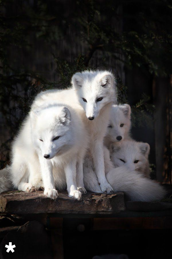 White foxes, just so beautiful.