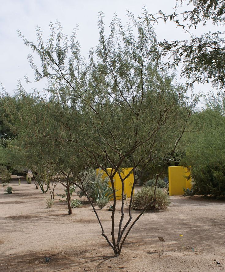 190 Best Images About Trees For Tucson/Sunset Zone 12 On