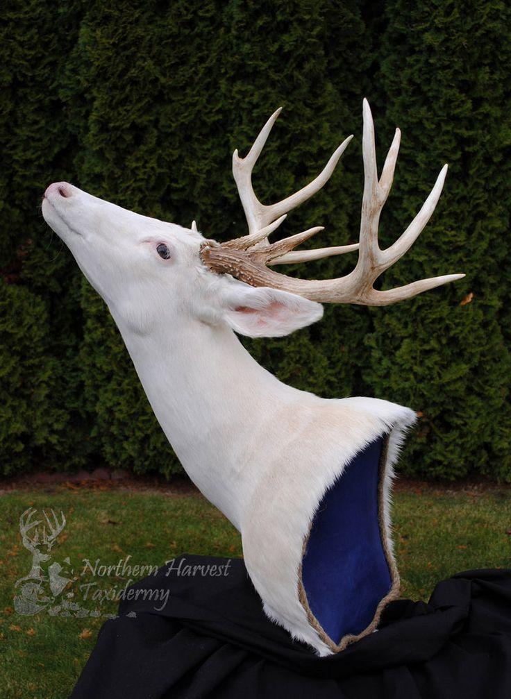 White Whitetail Deer by ~LilMissDoeEyes on deviantART