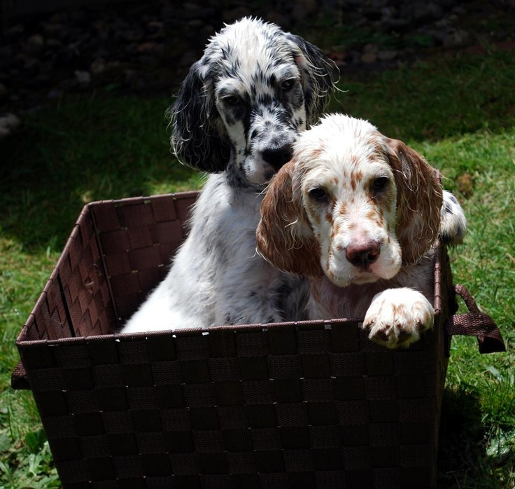349 best images about Cute English Setter Puppy on Pinterest