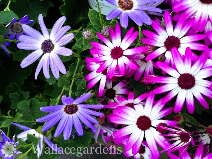 February: Cineraria, cool season annual Zone 7B (blooms with Primroses).