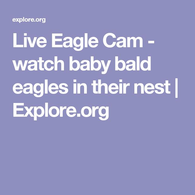 Live Eagle Cam - watch baby bald eagles in their nest | Explore.org