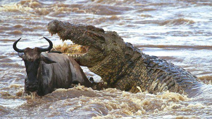 Purussaurus Busca De Twitter Twitter Nile Crocodile Wild Animals Attack Animals Wild