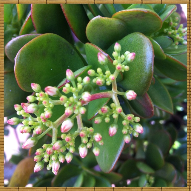 how to get a jade plant to flower