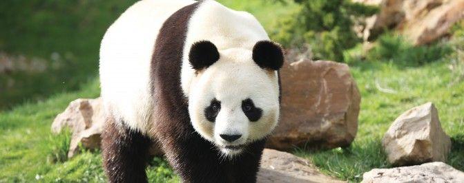 Le ZooParc de Beauval, à Saint-Aignan. Un site unique en France à 25 minutes de Chenonceau et 30 minutes de #Blois, Chambord et #Amboise | Val de Cher Saint-Aignan #zoobeauval #panda #valdeloire #destinationbeauval #saintaignan
