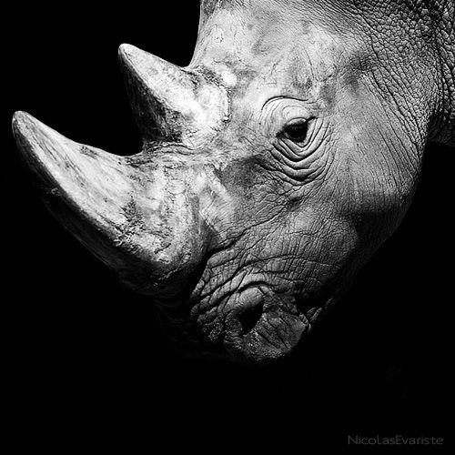 Dark Zoo - Ceratotherium simum  by Nicolas Evariste