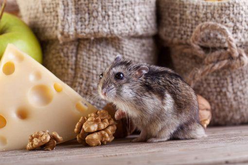 Prawidłowe żywienie chomików