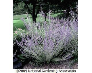 """Perovskia atriplicifolia - Russian Sage 36"""" h x 36""""w. Full sun to partial shade. drought tolerant. ===Cut back plants in early summer,fall and spring. Wait to see how much wood had made it through the winter before cutting them back hard in the spring.==="""