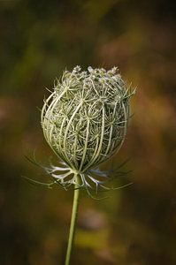 Queen Anne's Lace - Lady In Waiting Print by Patti Deters