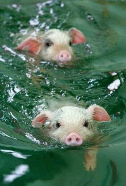 Zwemmende varkens