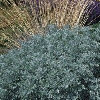 Powis Castle' is a superb foliage plant with finely textured silver-gray foliage and an attractive mounding habit.  Use this plant to accentuate ornamental grasses and other perennials with differently colored foliage. Drought resistant/drought tolerant plant (xeric).