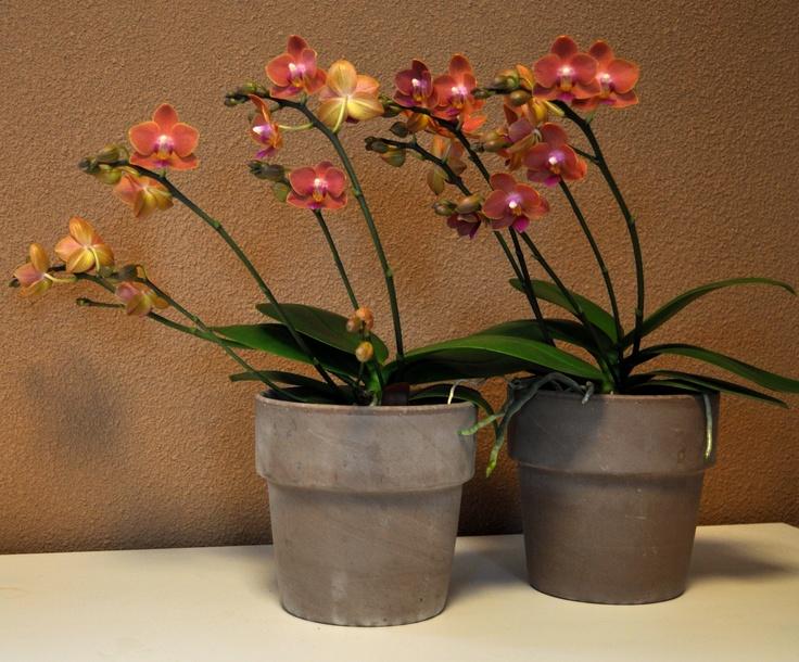 Alice Adventures Orchids Orchidee Phalaenopsis Orange Oranje