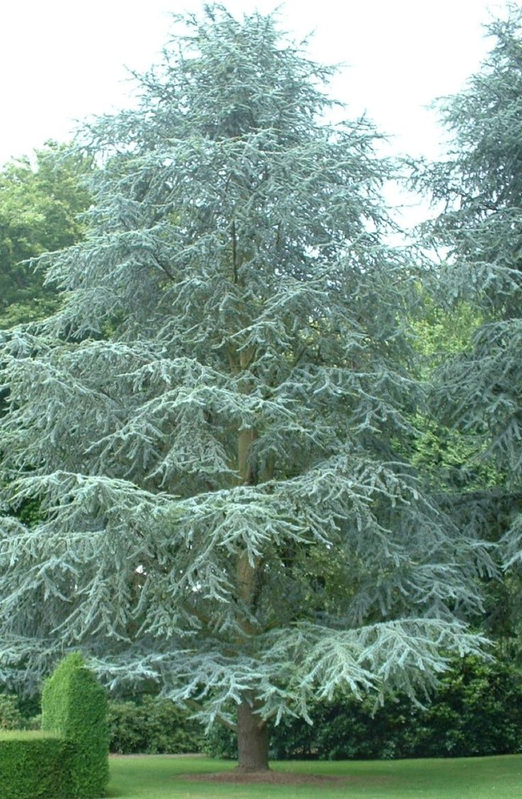 112 best landscaping soft over 6m conifers images on for Specimen trees zone 5