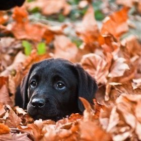 Black lab puppy in leaves
