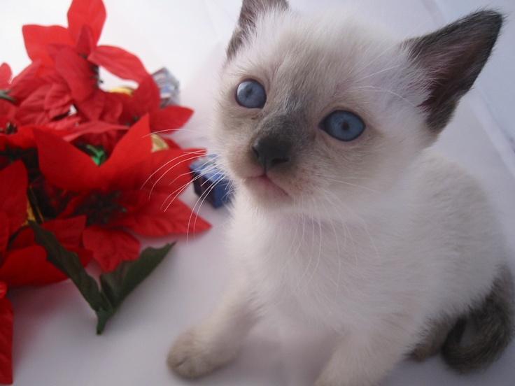 Siamese Cat Rescue Indiana