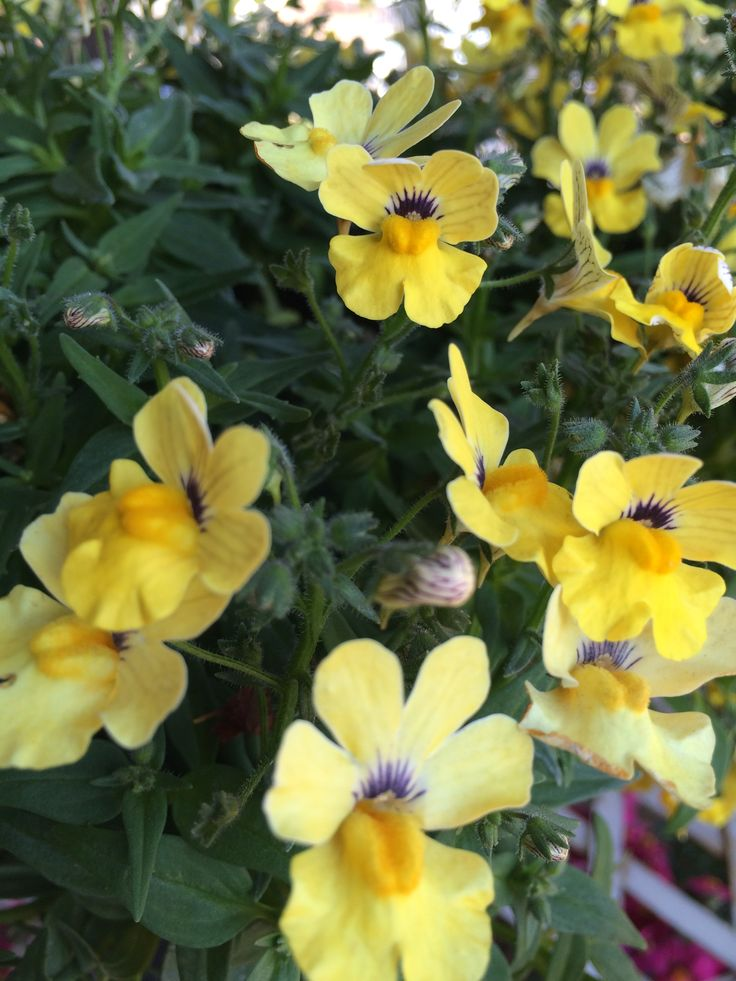 Heralding from the Cape, indigenous Nemesia with their sweet fragrant flowers will cascade over the edge of a container