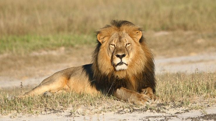 July 2015 / WH petition to extradite #CecilTheLion's killer exceeds 100,000 signatures: http://abcn.ws/1KCdony