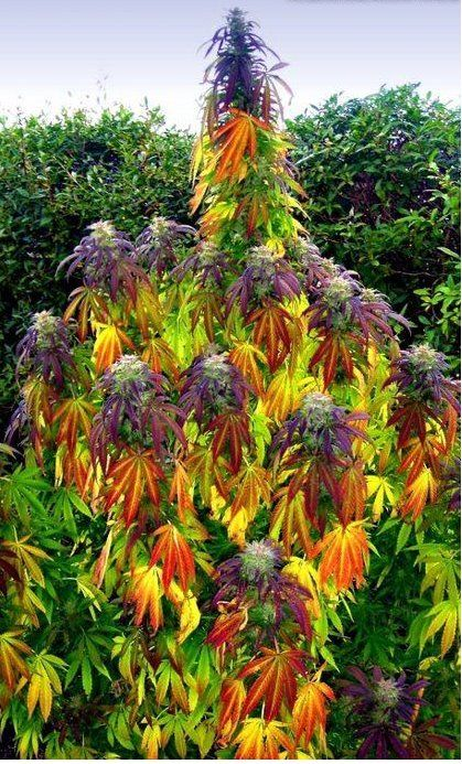 Colourful - Is this a Marijuana plant? Looks like one to ...