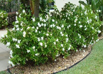 Frost Proof Gardenia - Northeast corner of house. Perennial evergreen flowering shrub requiring morning light.